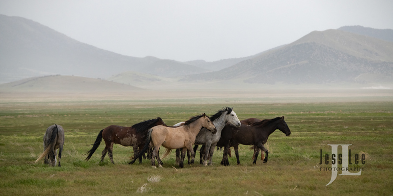 wild horses-2802(1).jpg :: Wild Horse Photos from Jess Lee Photo workshops for wild horses available for Stock, Prints, Fine Art. Mustangs from Utah, Wyoming, Oregon, Idaho, Colorado.