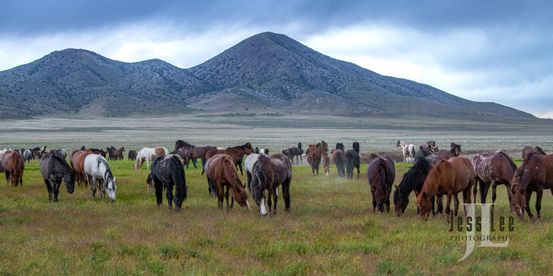 wild horses-2834(1).jpg :: Wild Horse Photos from Jess Lee Photo workshops for wild horses available for Stock, Prints, Fine Art. Mustangs from Utah, Wyoming, Oregon, Idaho, Colorado.