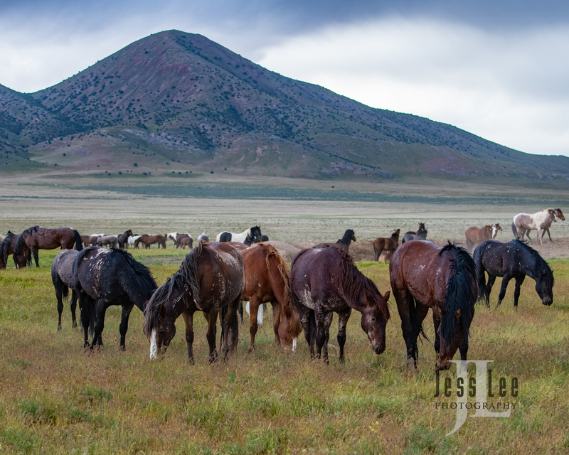wild horses-2840(1).jpg :: Wild Horse Photos from Jess Lee Photo workshops for wild horses available for Stock, Prints, Fine Art. Mustangs from Utah, Wyoming, Oregon, Idaho, Colorado.