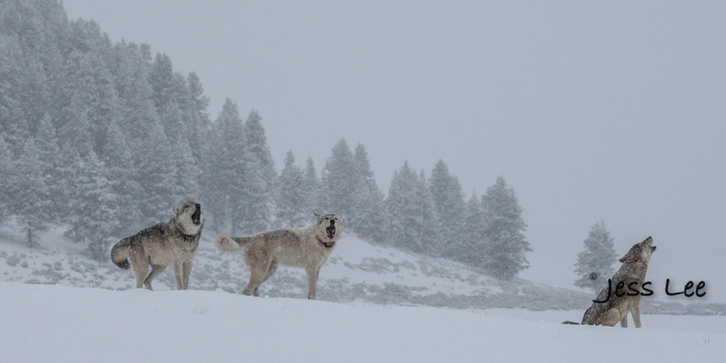 wild_wolf--107-2(1).jpg :: Yellowstone wolf
