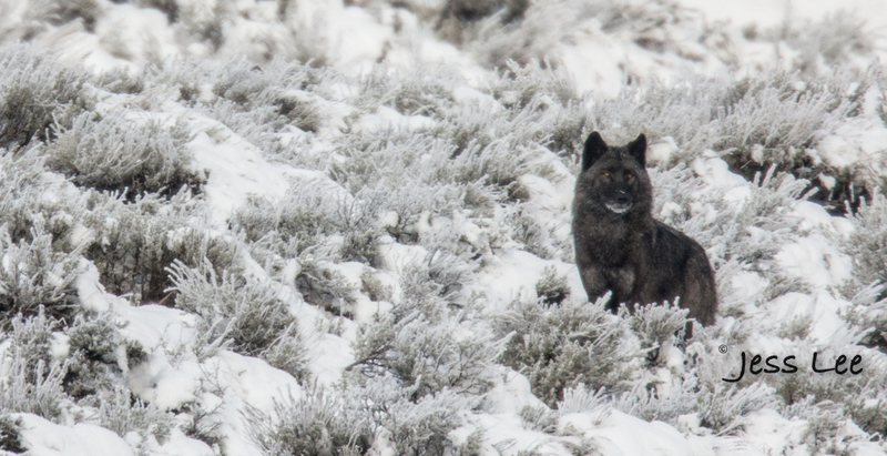 wild_wolf--131-4(1).jpg :: Yellowstone wolf