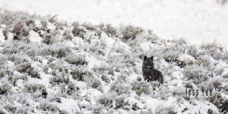 wild_wolf--131.jpg :: Yellowstone wolf