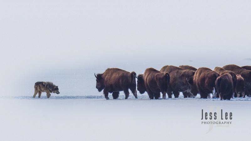 wild_wolf--266(1).jpg :: Yellowstone wolf