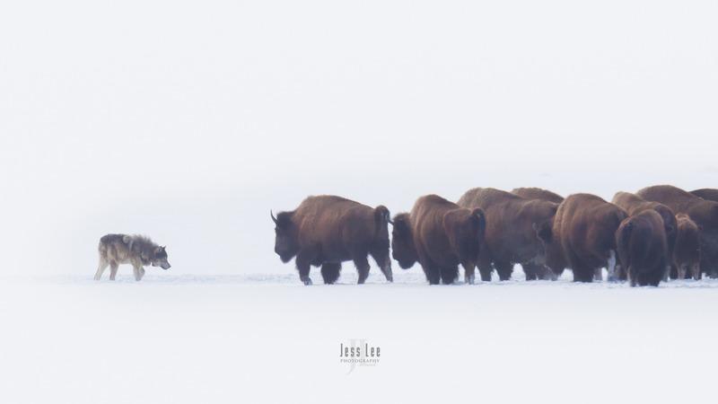 wild_wolf--266.jpg :: Yellowstone wolf
