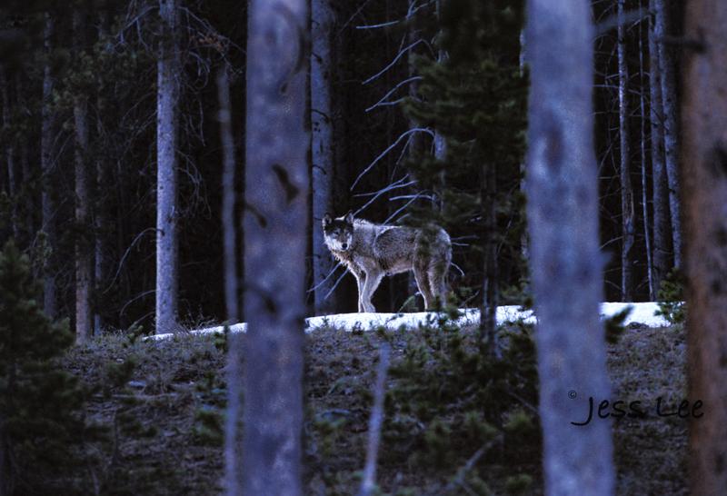 wild_wolf--3-2(1).jpg :: Scottsdale Arab show