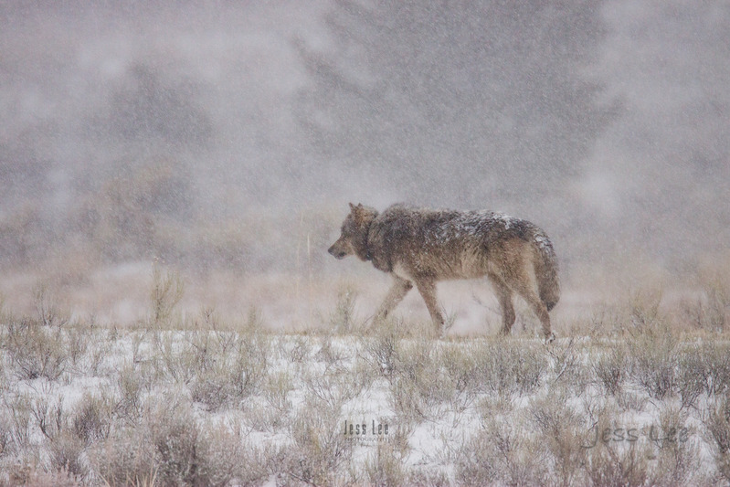 wild_wolf--300-Edit.jpg :: Yellowstone winter Wild Wolf