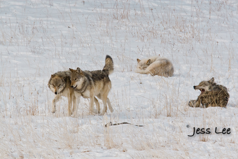 wild_wolf--78-3(1).jpg :: sub adult wolves playing with parents