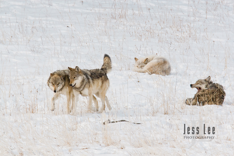 wild_wolf--78.jpg :: sub adult wolves playing with parents