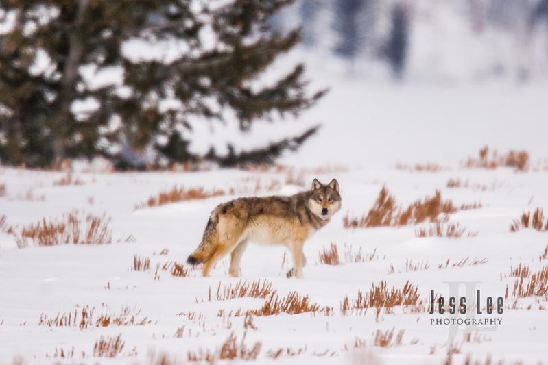 wild_wolf-0250(1).jpg :: wolf in winter
