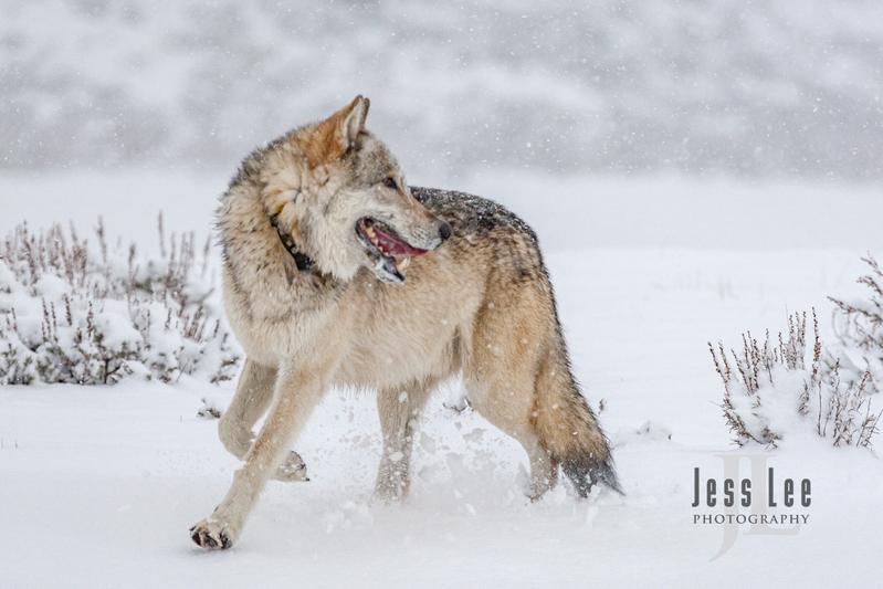 wild_wolf-0275(1).jpg :: Yellowstone wolf