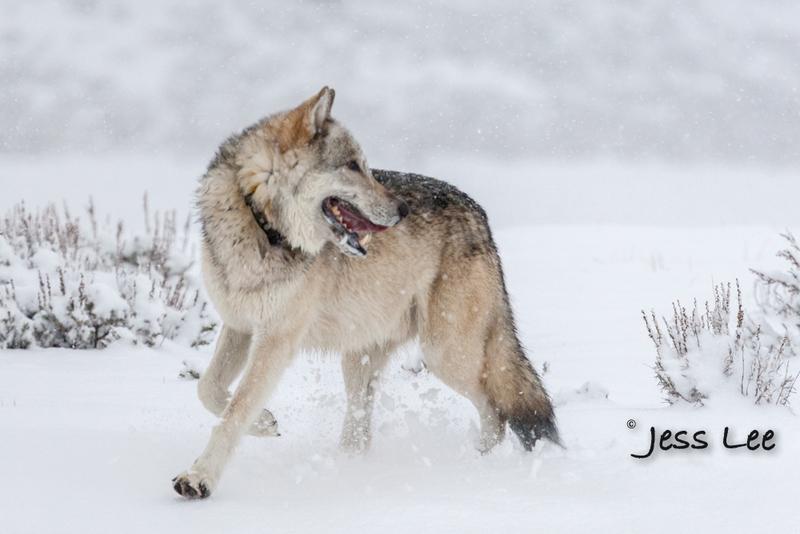 wild_wolf-0275-2(1).jpg :: Yellowstone wolf