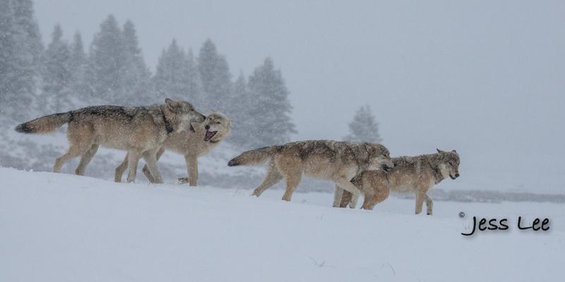 wild_wolf-0371-2(1).jpg :: Yellowstone wolf