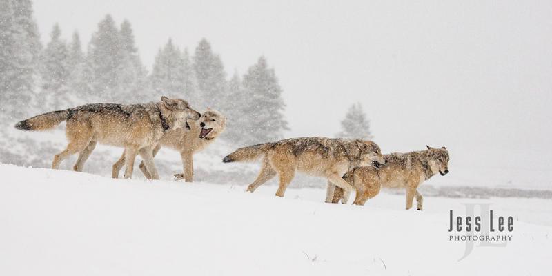 wild_wolf-0371.jpg :: Yellowstone wolf