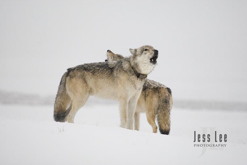 wild_wolf-0384.jpg :: Yellowstone wolf