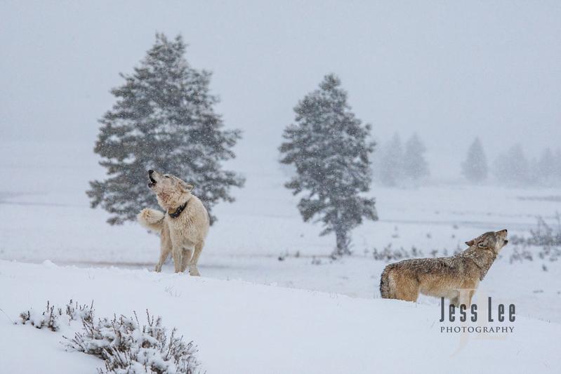 wild_wolf-0398(1).jpg :: Yellowstone wolf