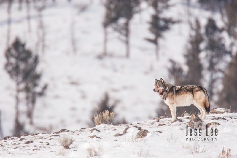 wild_wolf-0442(1).jpg :: wolf on snow covered ridge