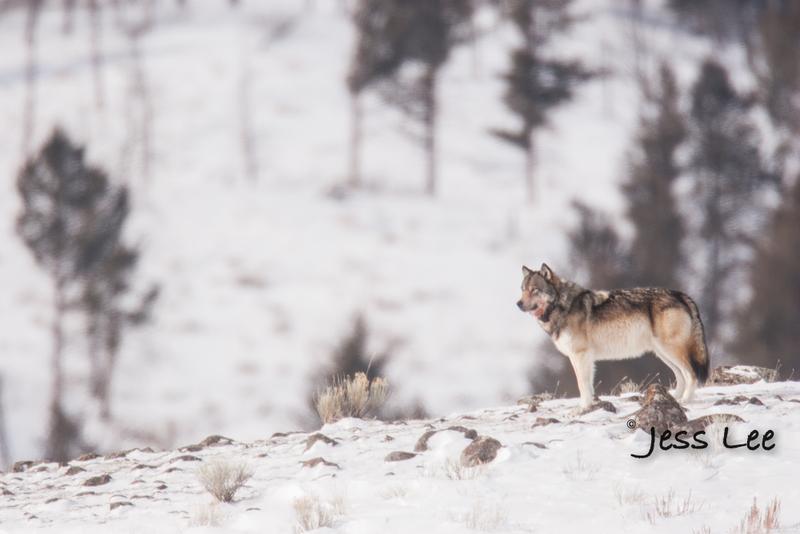 wild_wolf-0442-2(1).jpg :: wolf on snow covered ridge