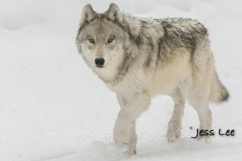 wild_wolf-0658-2horz-2-2(1).jpg :: winter wolf