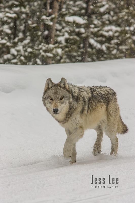 wild_wolf-0658-2horz.jpg :: Yellowstone wolf