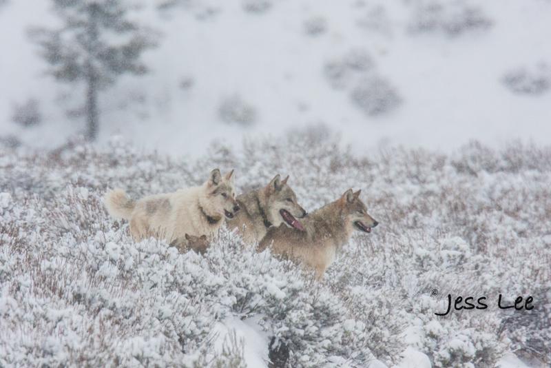 wild_wolf-0846-2(1).jpg :: Wild wolf in Yellowstone