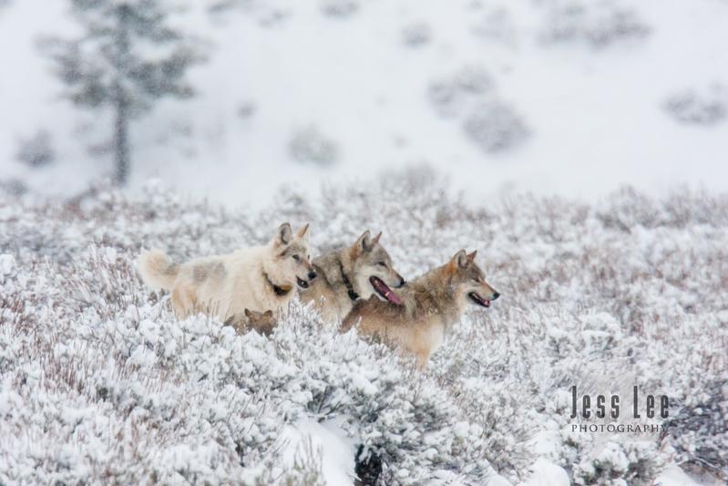 wild_wolf-0846.jpg :: Wild wolf in Yellowstone