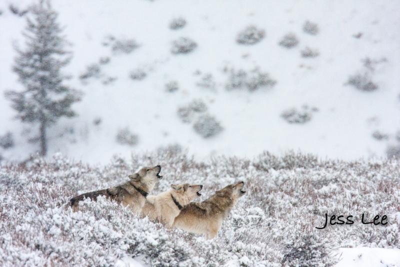 wild_wolf-0876-Edit-2(1).jpg :: Yellowstone wolf