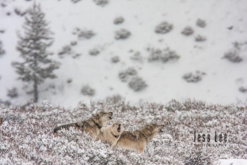 wild_wolf-0884-Edit(1).jpg :: Yellowstone wolf