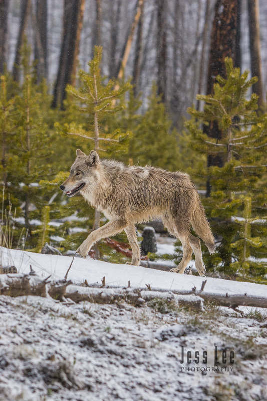 wild_wolf-1-136(1).jpg :: Young wolf waling in forest