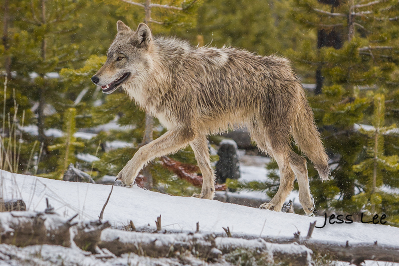 wild_wolf-1-136-2(1).jpg :: Young wolf waling in forest