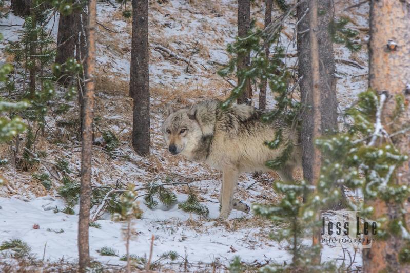 wild_wolf-1-162.jpg :: wolf in trees