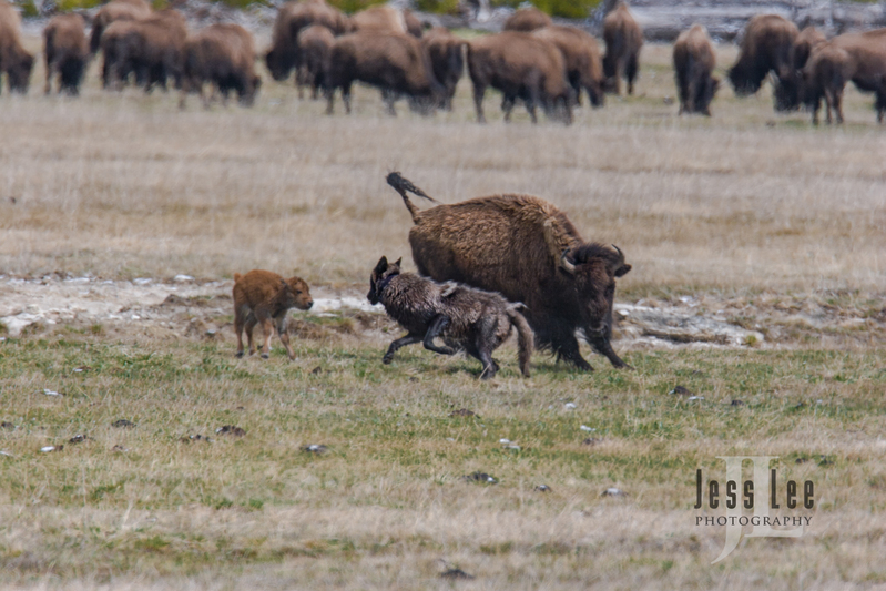 wild_wolf-1-176(1).jpg :: wolf trying to kill bison calf