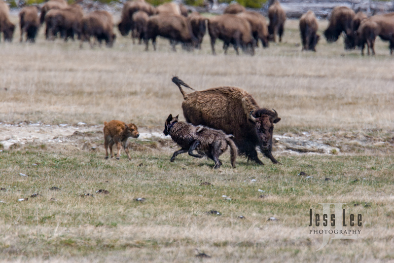 wild_wolf-1-176-Edit(1).jpg :: wolf trying to kill bison calf