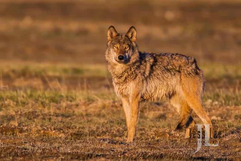 wild_wolf-1-218(1).jpg :: grey wolf