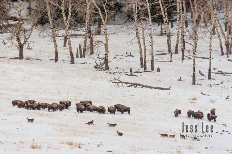 wild_wolf-1-27(1).jpg :: Wolves hunting bison