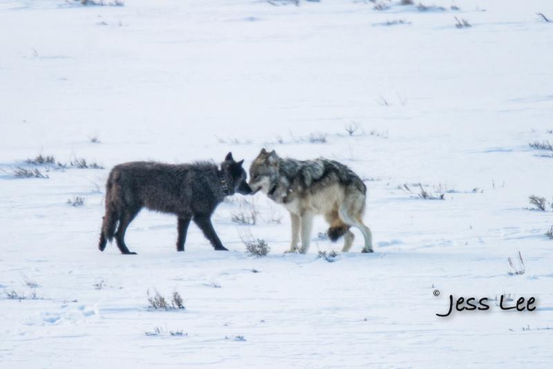 wild_wolf-1-31-2(1).jpg :: Yellowstone wolf