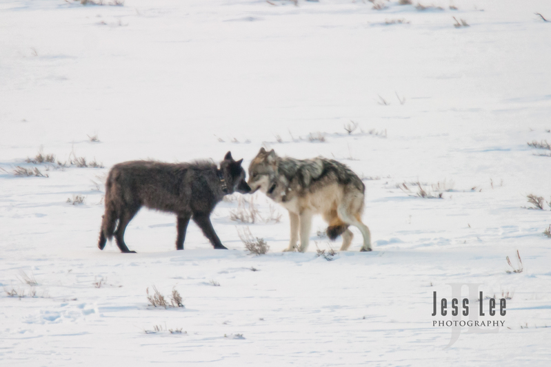 wild_wolf-1-31.jpg :: Yellowstone wolf
