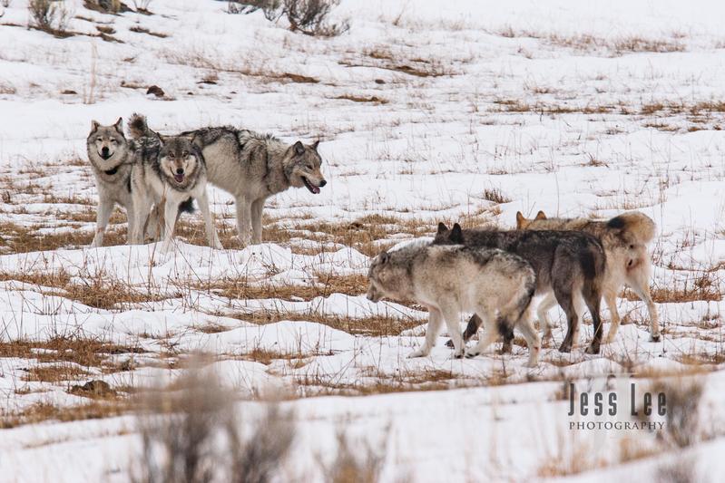 wild_wolf-1-44(1).jpg :: two packs of wolves facing off during breeding season.