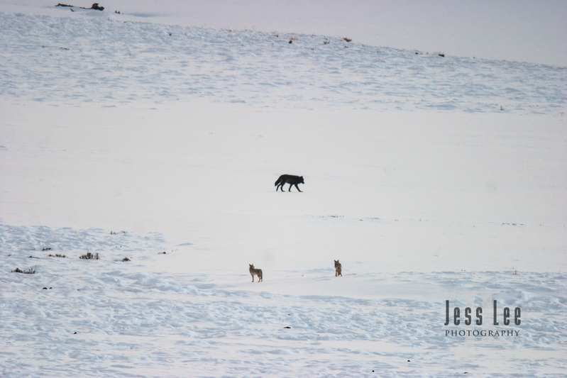 wild_wolf-1-47.jpg :: Wolf being watched by Coyotes