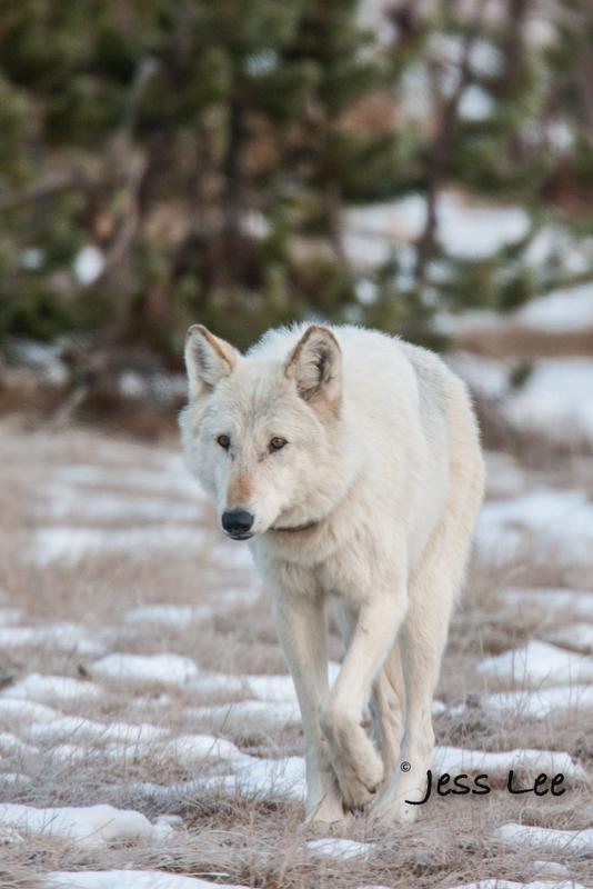 wild_wolf-1485-2(1).jpg :: Yellowstone wolf