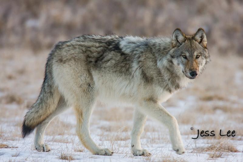wild_wolf-1521-2(1).jpg :: Yellowstone wolf