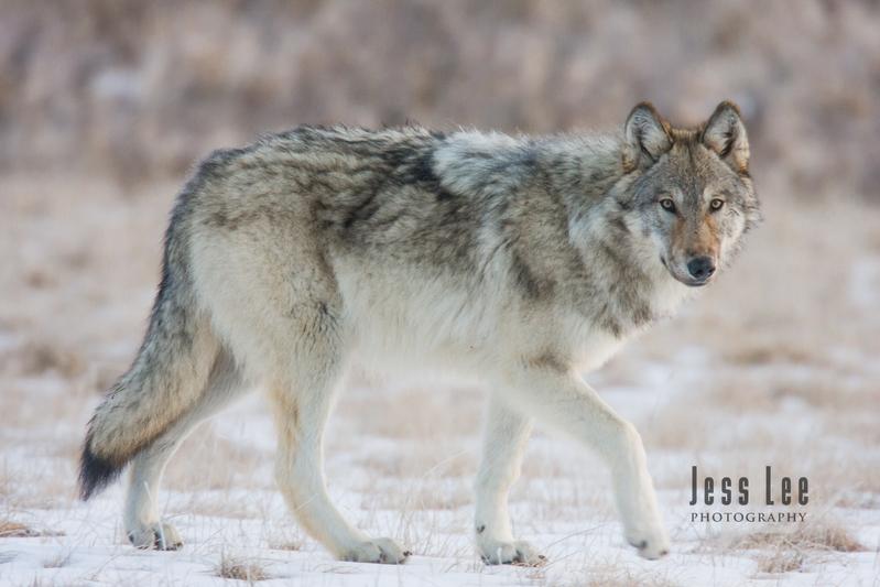 wild_wolf-1521.jpg :: Yellowstone wolf