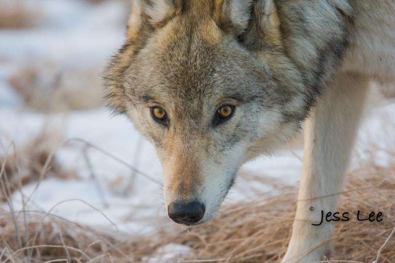 wild_wolf-1529-2(1).jpg :: Yellowstone wolf