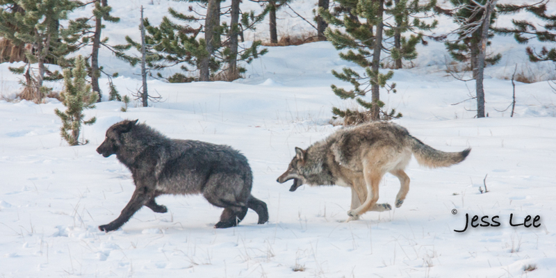 wild_wolf-1563-2(1).jpg :: Yellowstone wolf