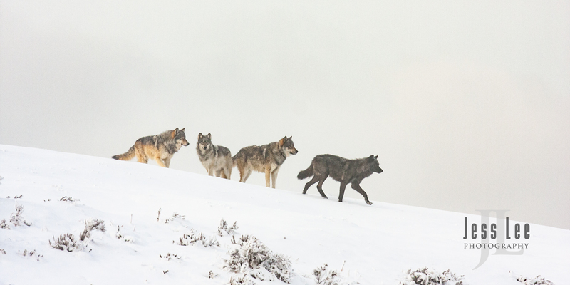 wild_wolf-1642.jpg :: Yellowstone wolf