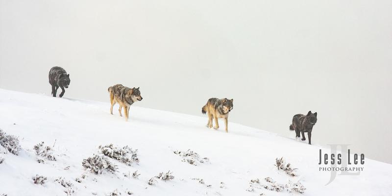 wild_wolf-1662.jpg :: Yellowstone wolf