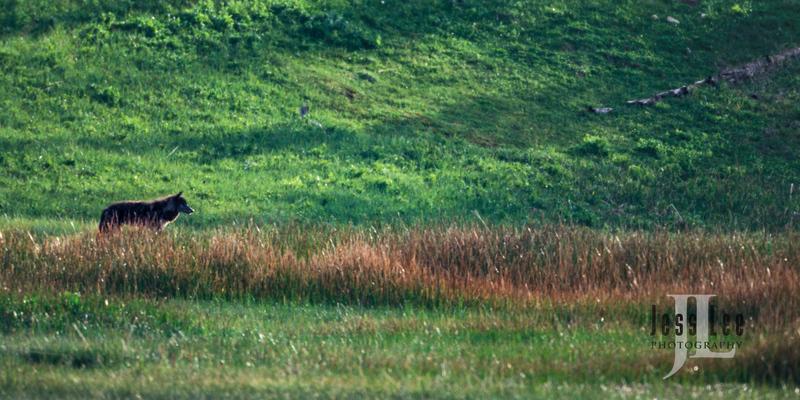 wild_wolf-16620-2.jpg :: Scottsdale Arab show
