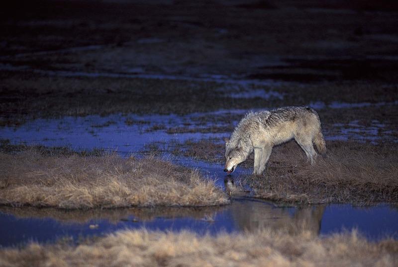 wild_wolf-16635-2.jpg :: Yellowstone Wild Wolves Photos