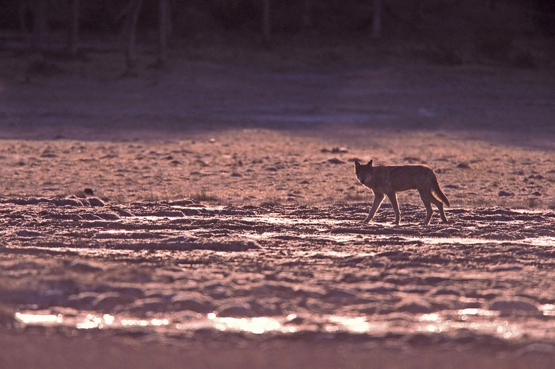 wild_wolf-16637.jpg :: Yellowstone Wild Wolves Photos