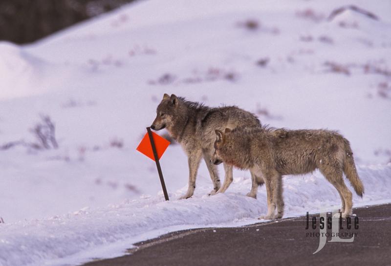 wild_wolf-16655-2.jpg :: Scottsdale Arab show
