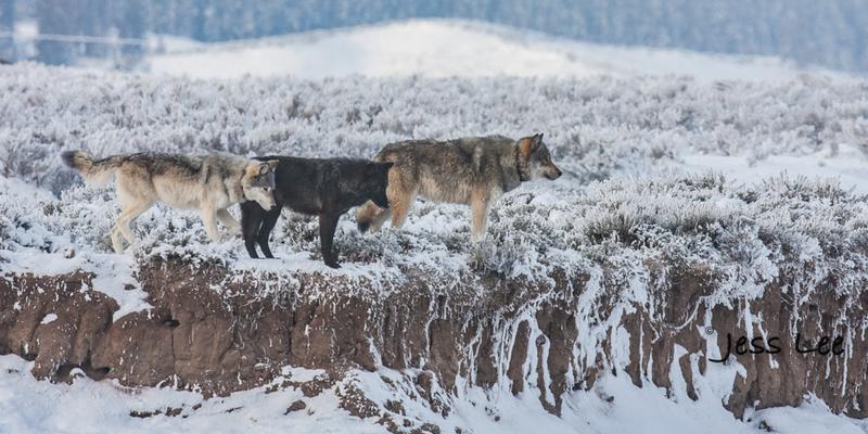 wild_wolf-1668-2(1).jpg :: Yellowstone wolf